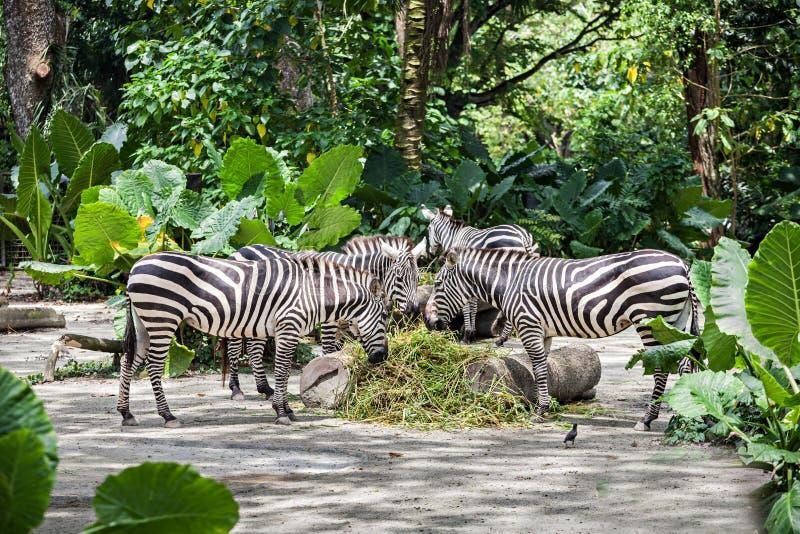 Groep zebras royalty-vrije stock afbeelding