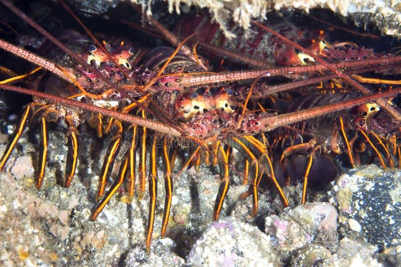 Groep zeekreeften onder richel stock afbeeldingen