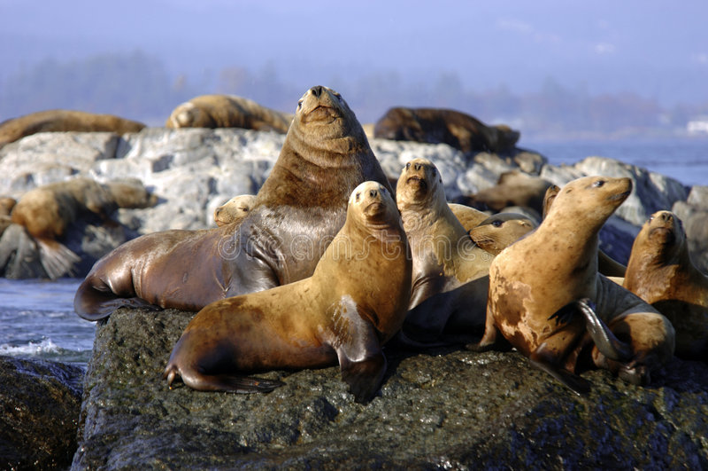 Groep zeeleeuwen het zonnen stock afbeelding