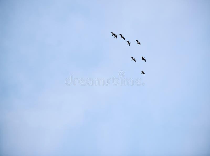 Groep zeemeeuwen die in vorming tegen een lichtblauwe hemel vliegen royalty-vrije stock foto