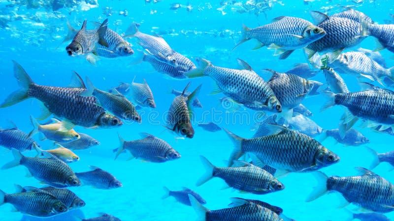 Groep zilveren weerhaakvissen stock afbeeldingen