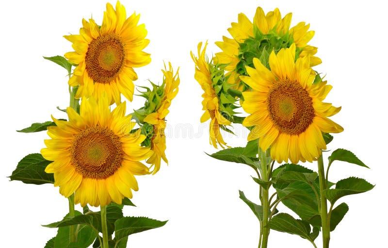 Groep zonnebloemen stock fotografie