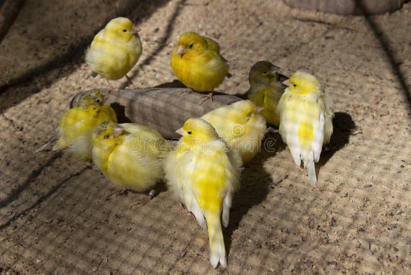 Groeps kleine gele kanaries die op grond eten royalty-vrije stock afbeeldingen
