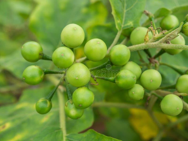 Groeps kleine groente van Nachtschadetorvum op de boom stock fotografie