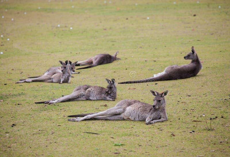 Groeps leuke Australische Kangoeroe die op het het groene golf gebied en ontspannen liggen stock fotografie