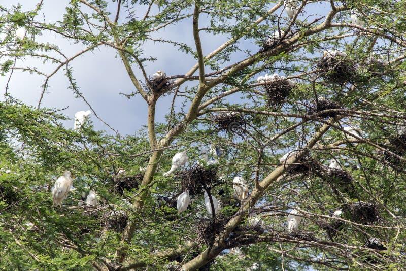 Groeps nestelen-plaats van witte Veeaigrette op een acacia royalty-vrije stock foto's