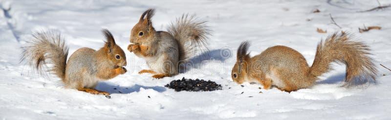 Groeps rode eekhoorns die zaden in de sneeuw eten stock afbeelding