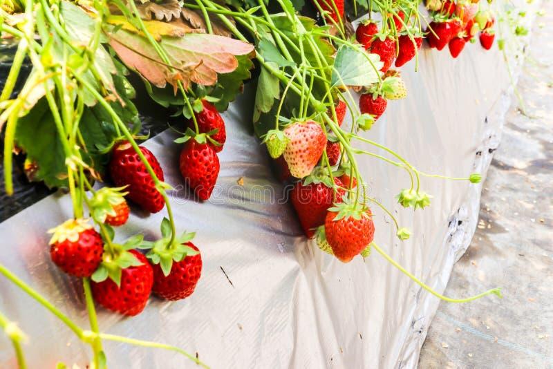 Groepsversheid van rode aardbei in Aardbeilandbouwbedrijf, Chiba royalty-vrije stock afbeelding