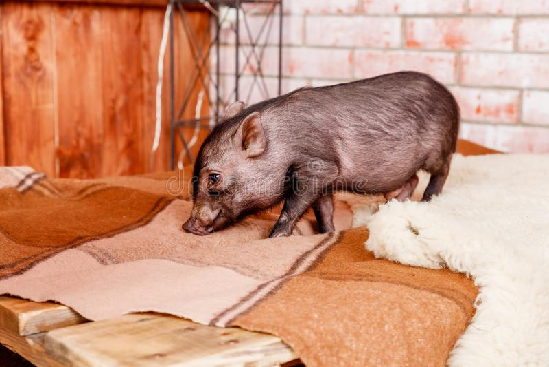 Groetkaart met Varkensbiggetje, Zwarte weinig varken Chinees horoscoopconcept Zwarte mini piggy Symbool van het Chinese Jaar van  royalty-vrije stock foto