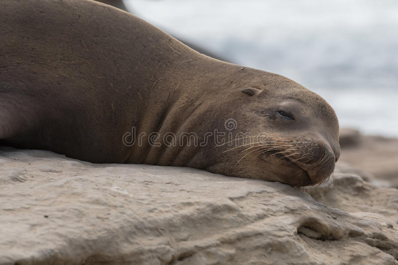 Groggy Sea Lion Opens Eye. In middle of afternoon nap royalty free stock photos