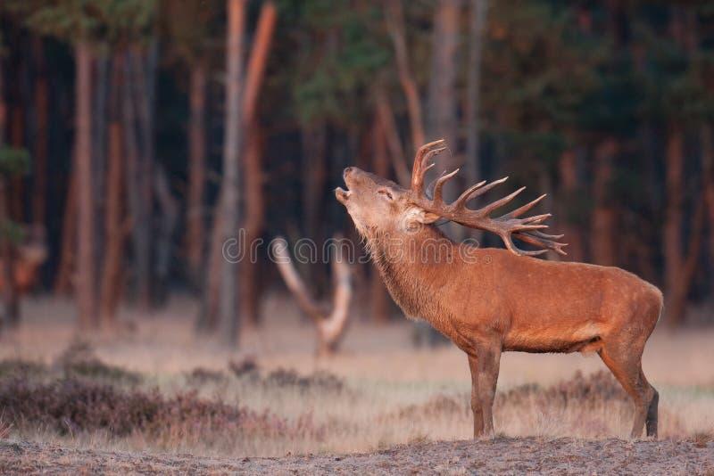 Grognement de cerfs communs rouges