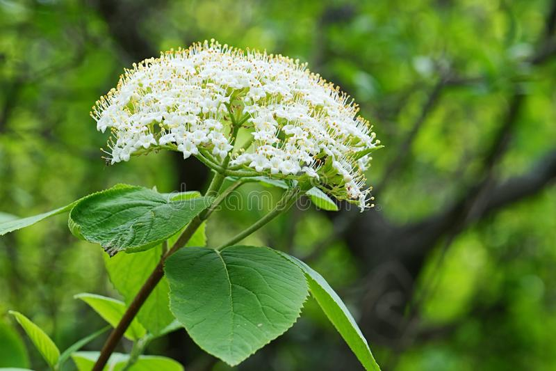 Gromada kwiatów wiosennych, zwana również Elderberry lub Black Elder, nazwa łacińska Sambucus Nigra obrazy stock