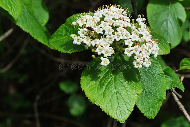 Gromada kwiatów wiosennych, zwana również Elderberry lub Black Elder, nazwa łacińska Sambucus Nigra zdjęcia stock
