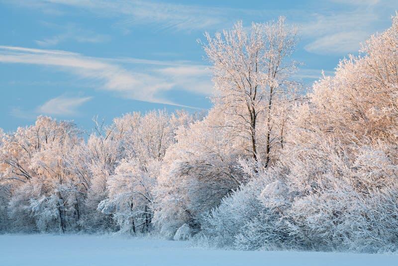 gromadzący się śnieżni drzewa zdjęcie royalty free