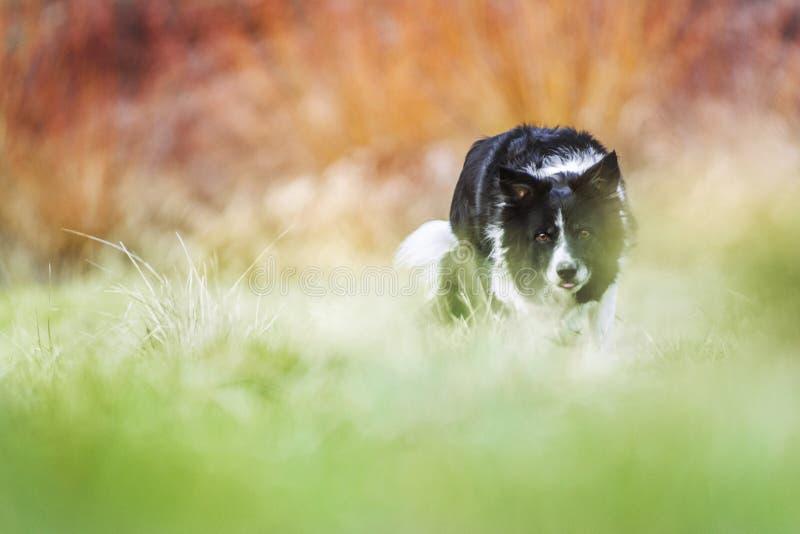 Gromadzić się Border Collie na Zielonym łąki i pomarańcze tle, Bardzo Niska głębia pole czarny psa biel fotografia royalty free
