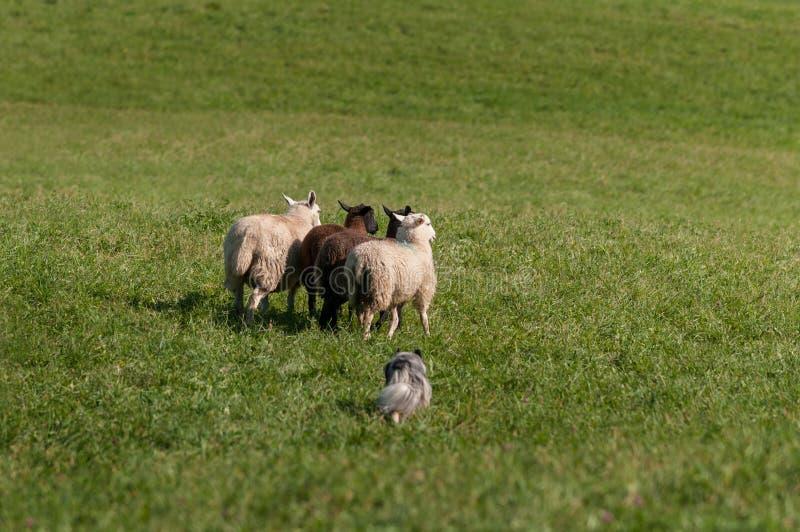 Gromadzić się psów bieg grupy Barani Ovis aries W Za polu zdjęcie royalty free
