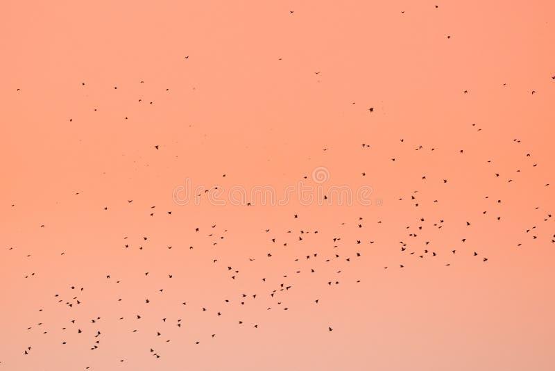 Gromadzi się ptaki migrujący Lata W jesieni Lub wiosny zmierzchu wschodzie słońca obrazy royalty free