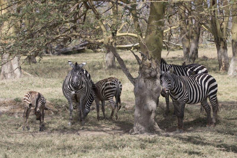 Gromadzi się równiny zebry która stoi w cieniu akacje na gorącym, obraz royalty free