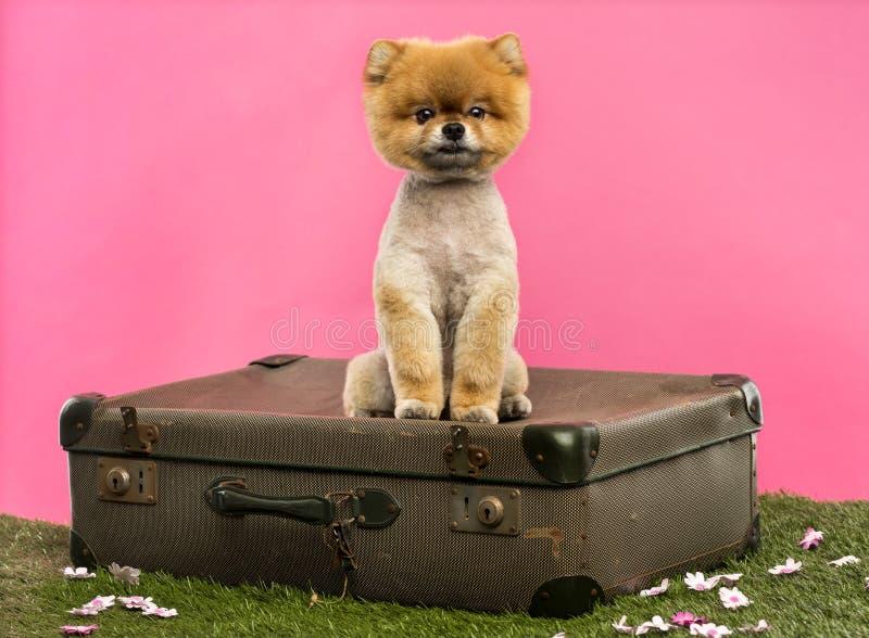 Grommed Pomeranian hundsammanträde på en gammal resväska royaltyfria bilder
