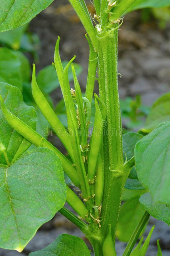Grona guar lub fasoli fasole, Cyamopsis tetragonoloba, Pune, maharashtra zdjęcie royalty free