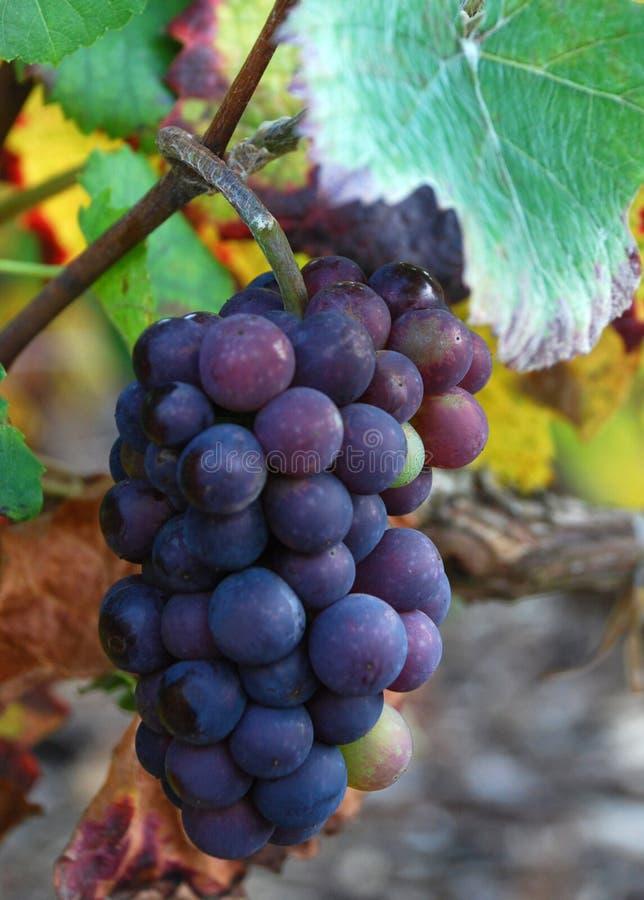 grona winogrono zdjęcia stock