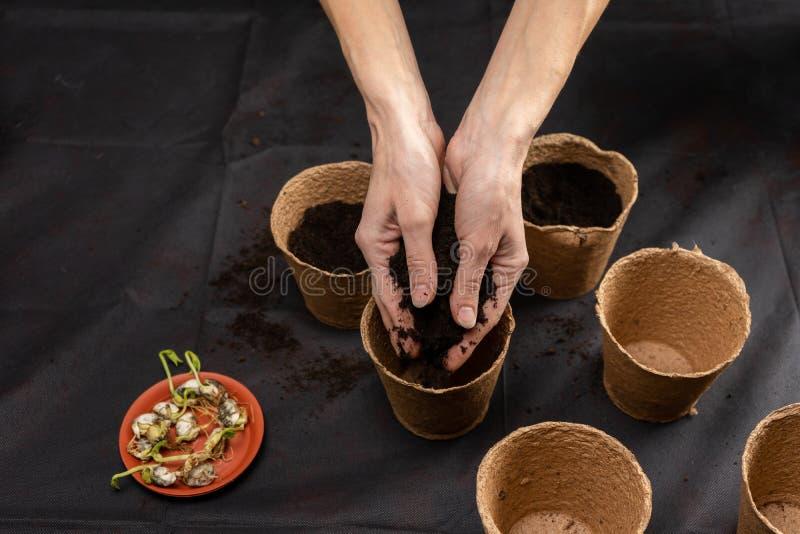 Grond in de handen van vrouwen, de pot van de turfbloem stock afbeeldingen