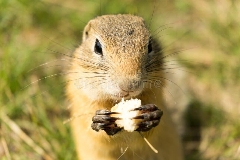 Grond-eekhoorn het eten stock foto's