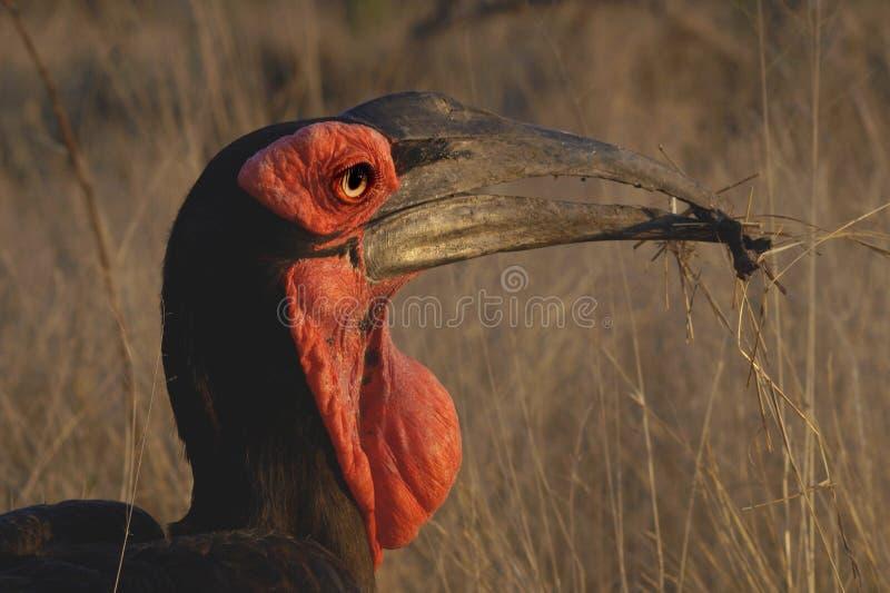 Grond Hornbill royalty-vrije stock foto's