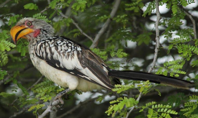 Grond Hornbill stock afbeeldingen