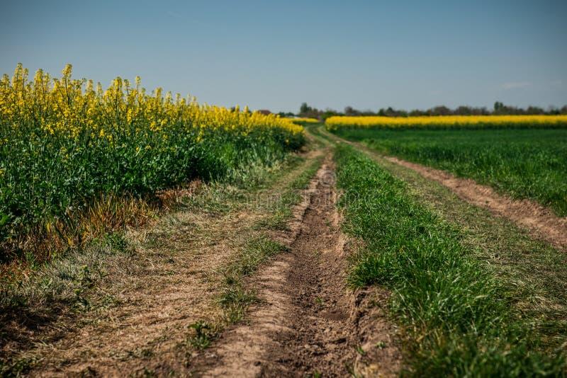 Grondweg op geel bloemgebied met zon, mooi de lentelandschap, heldere zonnige dag, raapzaad stock fotografie