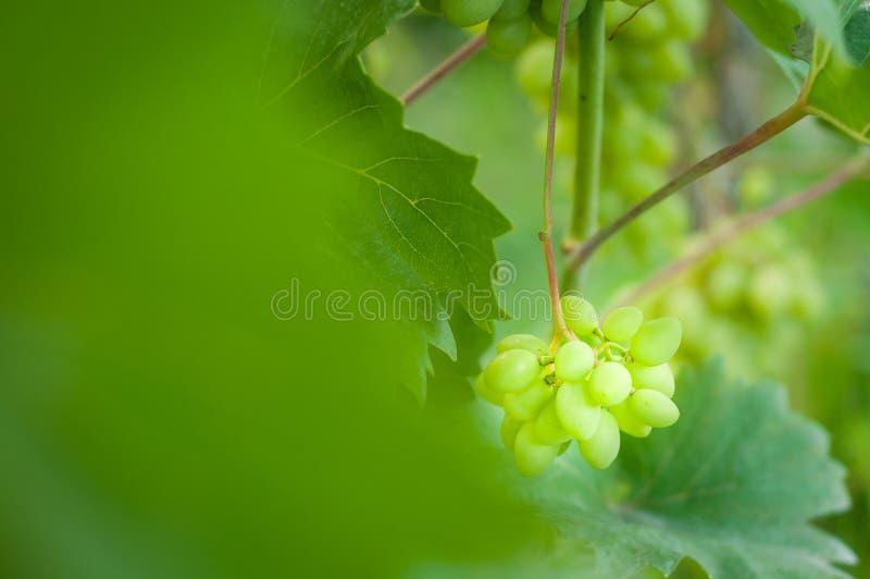 Grones rosnąć białych winogrona na domowej plantacji zdjęcia stock