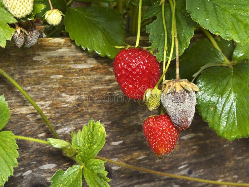 Gronik owoc Gnilna lub Szara foremka truskawki zdjęcia stock