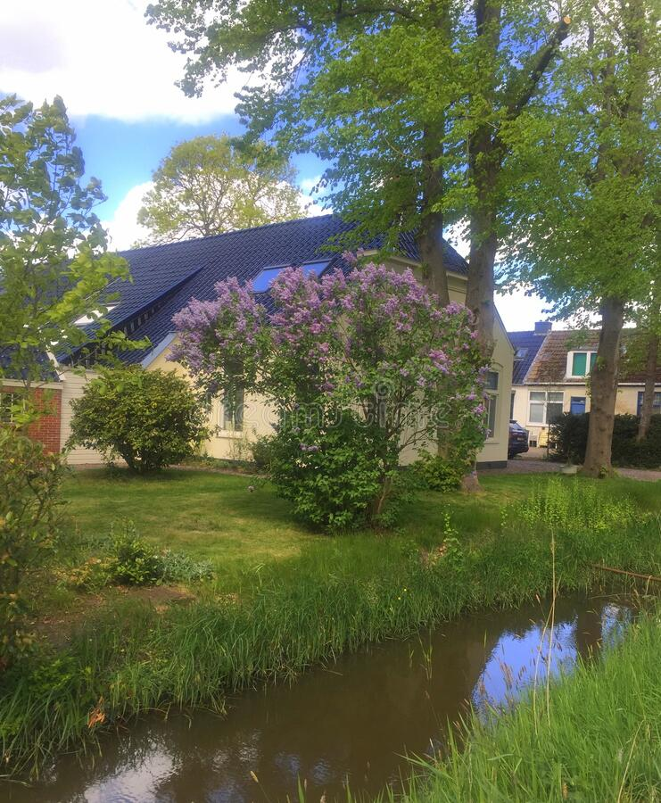 Lilac tree blooms at the farmhouse royalty free stock photo