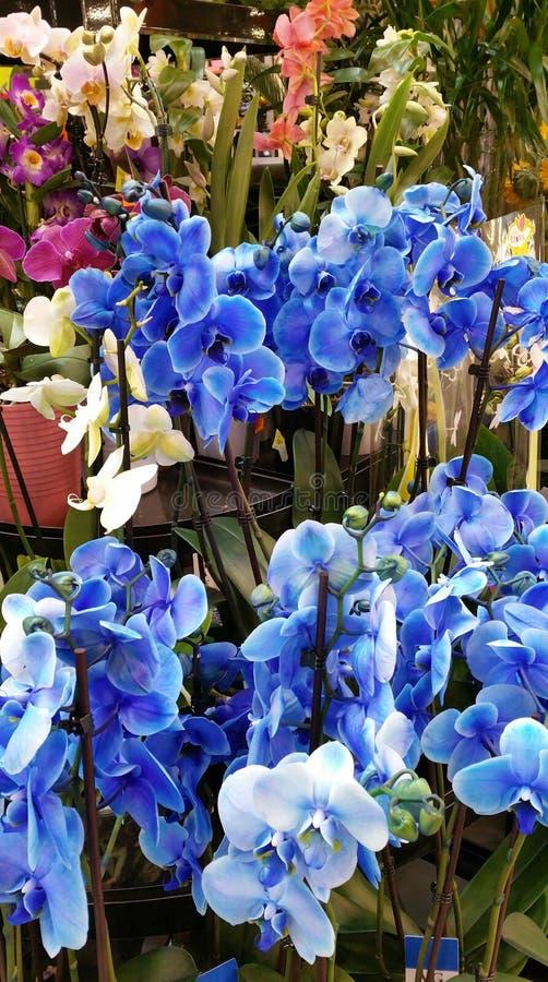 Grono błękitne orchidee obraz stock