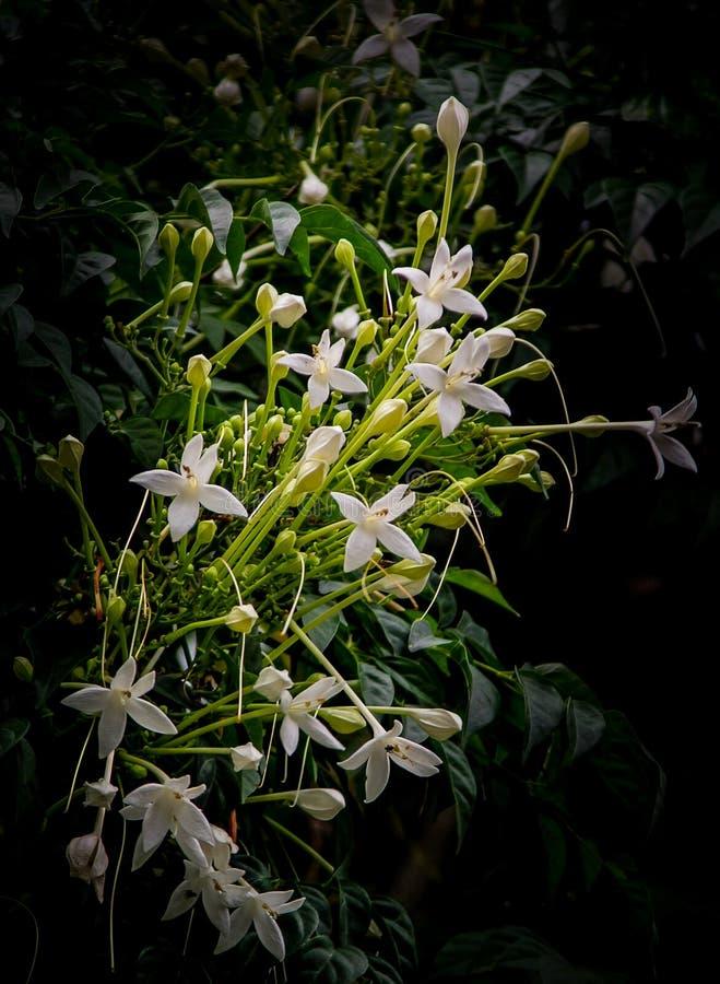 Download Grono Biali Kwiaty Korkowy Drzewo Obraz Stock - Obraz złożonej z okwitnięcie, botanika: 106909085