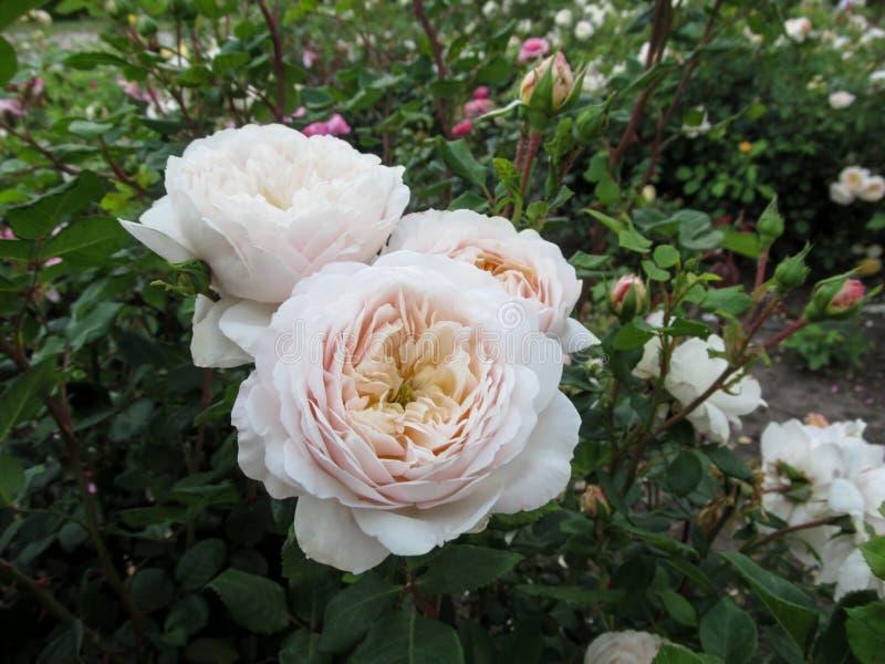 Grono delikatna śmietanka cupped kwiaty róże ` Artemis ` cultivar na krzaku w ogródzie zdjęcie royalty free