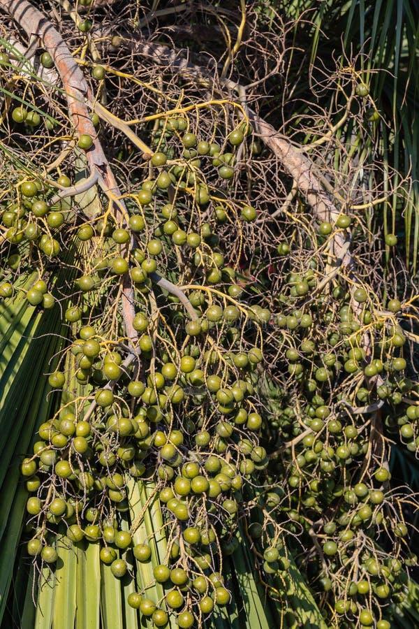 Grono fan Ornamentacyjne palmowe owoc na ulicach Los Angeles zdjęcia royalty free