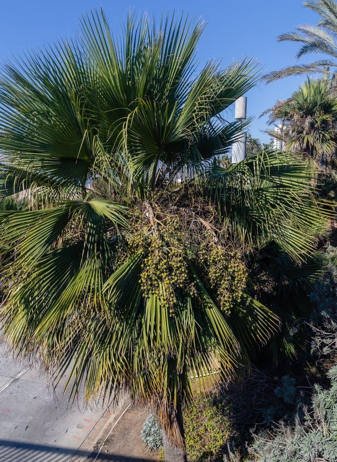 Grono fan Ornamentacyjne palmowe owoc na ulicach Los Angeles zdjęcie stock