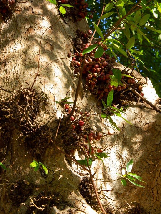 Grono figi drzewo fotografia royalty free