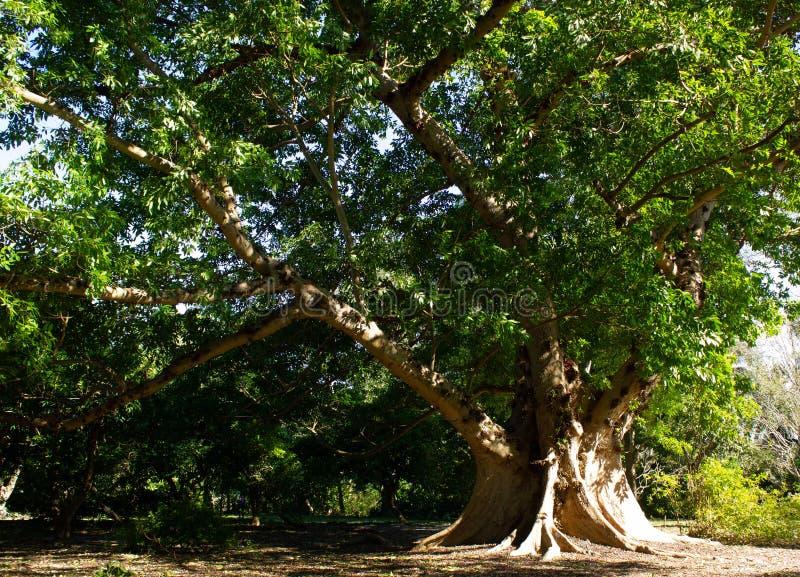 Grono figi drzewo zdjęcie royalty free