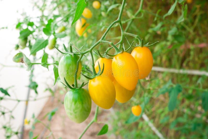 Grono koloru żółtego pomidor zdjęcie stock