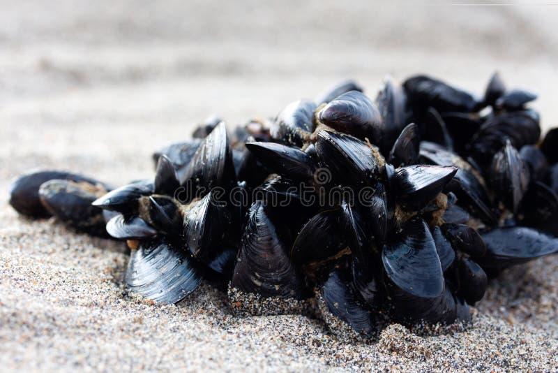 Grono mussels zdjęcie royalty free
