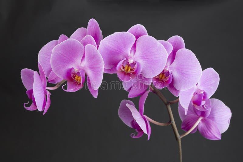 Grono Różowe orchidee zdjęcia royalty free