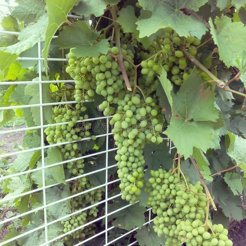 Grono winogrona zdjęcia royalty free