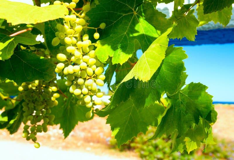Gronowa gałąź z jagodami i liśćmi na niebie jako tło fotografia stock