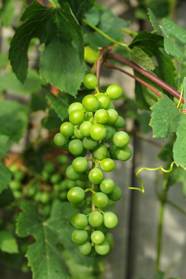Gronowa wiązka na winogradzie obrazy royalty free