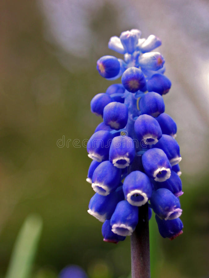 gronowego hiacyntu muscari racemosum zdjęcia stock