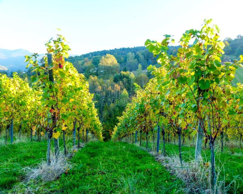 Gronowi winogrady w jesieni barwią z jesień lasem w tle obraz stock