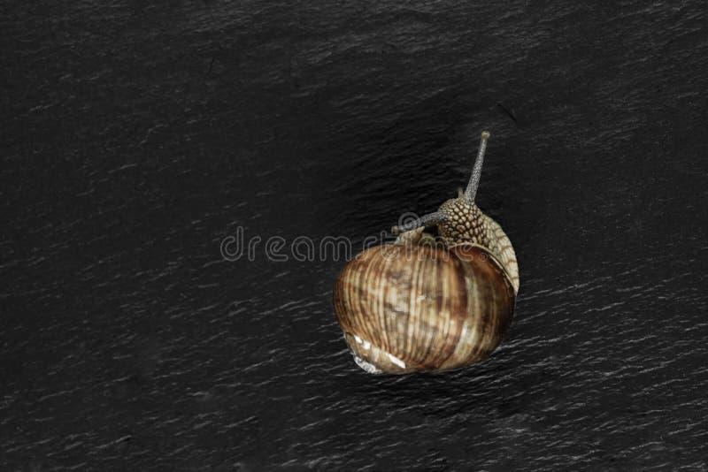 Gronowy ślimaczek na czerń kamienia tle Główna ostrość na ślimaczka ` s głowie zdjęcie royalty free