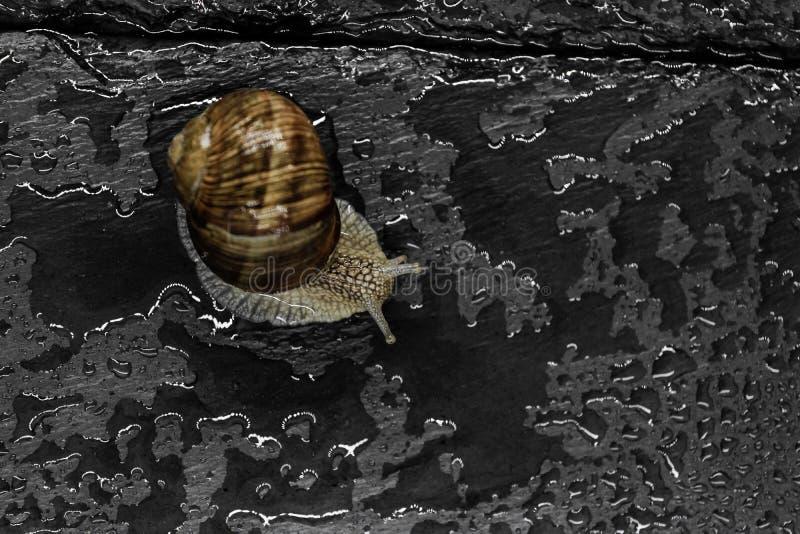 Gronowy ślimaczek na Mokrym czerń kamienia tle Główna ostrość na ślimaczka ` s głowie obrazy stock